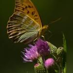Argynnis paphia - Keizersmantel