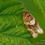 Argyrotaenia ljungiana - Bruinbandbladroller
