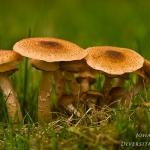 Armillaria solidipes - Sombere Honingzwam