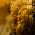 Artomyces pyxidatus - Kroontjesknotszwam