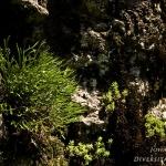 Familia Aspleniaceae - Streepvarenfamilie