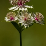 Astrantia major - Groot sterrenscherm