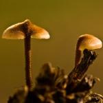 Auriscalpium vulgare - Oorlepelzwam