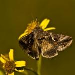 Familia Noctuidae - Uilen