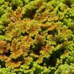 Familia Salviniaceae - Vlotvarenfamilie
