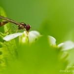 Baccha elongata - Vliegende speld