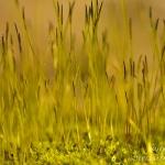 Barbula convoluta - Gewoon smaragdsteeltje