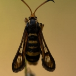 Bembecia ichneumoniformis - Klaverwespvlinder