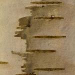 Betula pendula - Ruwe berk