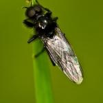 Familia Bibionidae - Zwarte Vliegen
