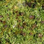 Bilimbia sabuletorum - Mosvreter