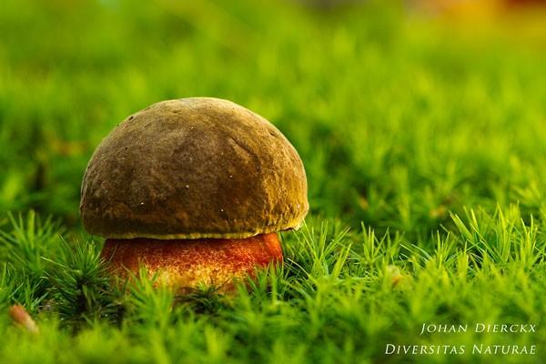 Boletus erythropus - Gewone heksenboleet