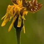 Boloria napaea - Bergparelmoervlinder