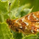 Boloria pales - Herdersparelmoervlinder