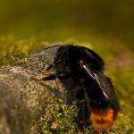 Ordo Hymenoptera - Vliesvleugeligen