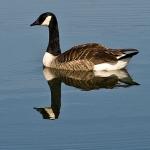Ordo Anseriformes - Eendvogels
