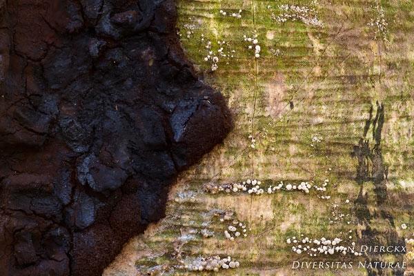 Brefeldia maxima - Zwart reuzenkussen