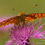Brenthis hecate - Dubbelstipparelmoervlinder