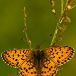 Brenthis ino - Purperstreepparelmoervlinder
