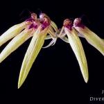 Bulbophyllum pseudopicturatum