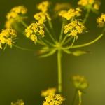 Familia Apiaceae - Schermbloemenfamilie