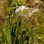 Bupleurum stellatum - Stervormig goudscherm