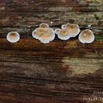 Byssomerulius corium - Papierzwammetje