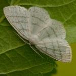 Cabera pusaria - Witte grijsbandspanner
