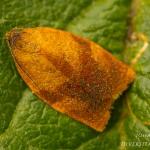 Cacoecimorpha pronubana - Anjermot
