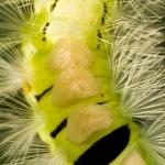 Calliteara pudibunda - Meriansborstel