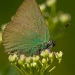 Callophrys rubi - Groentje