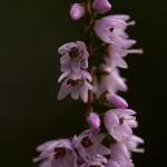 Calluna vulgaris - Struikhei