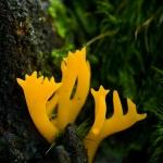 Calocera viscosa - Kleverig Koraalzwammetje
