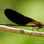 Calopteryx haemorrhoidalis - Koperen beekjuffer