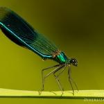 Calopteryx splendens - Weidebeekjuffer