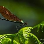 Calopteryx virgo - Bosbeekjuffer