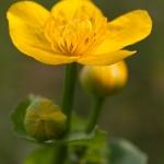 Caltha palustris - Dotterbloem