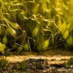 Campylopus introflexus - Grijs kronkelsteeltje