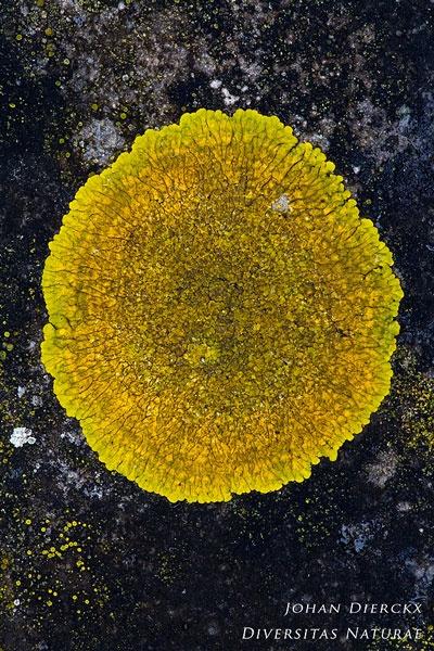 Candelariella medians - Gelobde Geelkorst