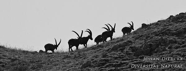 Capra ibex - Alpensteenbok