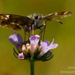 Carcharodus alceae - Kaasjeskruiddikkopje