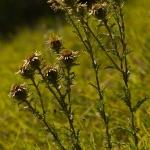 Carlina vulgaris - Driedistel
