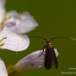 Cauchas rufimitrella - Pinksterbloemlangsprietmot