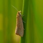 Celypha rufana - Smallijnbladroller