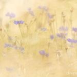 Centaurea cyanus - Korenbloem