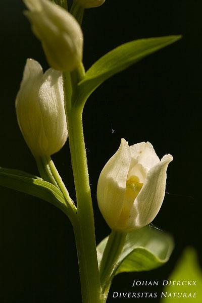 Cephalanthera damasonium - Bleek bosvogeltje