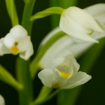 Genus Cephalanthera