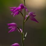 Cephalanthera rubra - Rood bosvogeltje