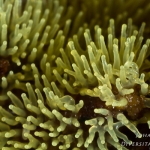 Ceratiomyxa fruticulosa - Gewoon IJsvingertje