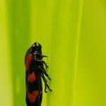 Familia Cercopidae - Schuimcicaden